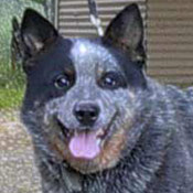 Buddy - Australian Cattle Dog