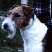 Oakie - Wirehaired Fox Terrier
